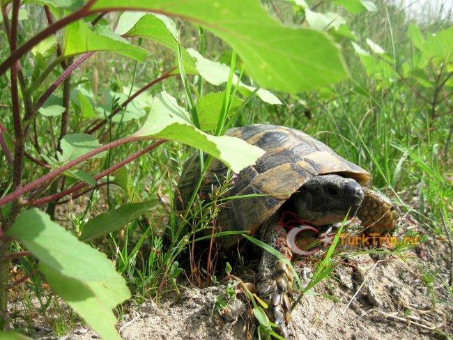 Черепахи - частые гостьи на диких пляжах
