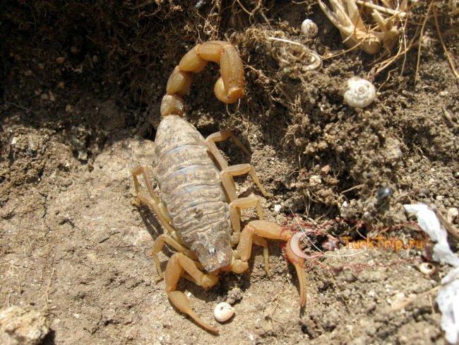 Скорпиона не стоит брать в руки