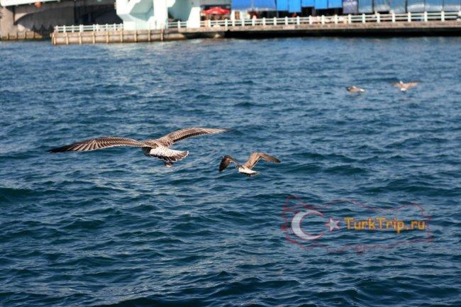Знаменитые Стамбульские чайки